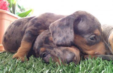 inmunidad, perros